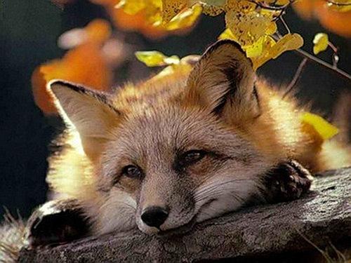 Закарпатця покусала скажена лисиця