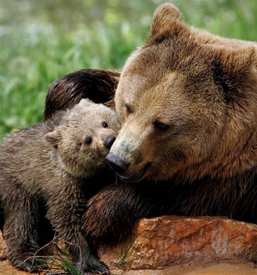 Бура ведмедиця не дає покою жителям Синевирської Поляни