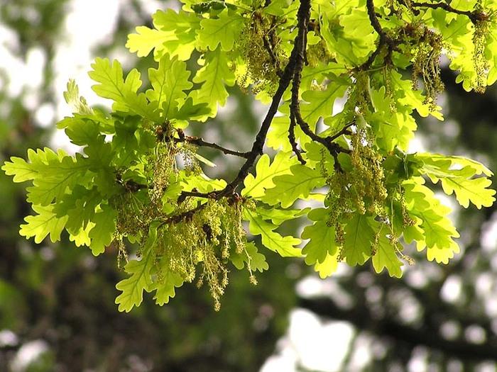В Мукачівській міській раді закликають зберегти зелені насадження