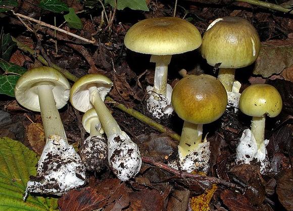 На Хустщині сім'я отруїлася грибами