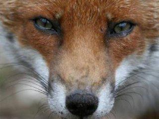 Скажена лисиця вкусила п'ятнадцятирічну жительку Тячівщини