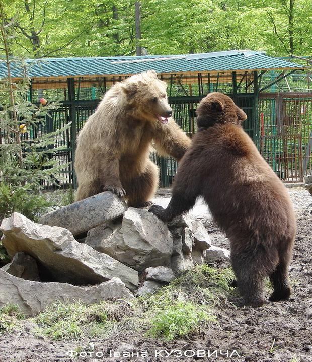 Життя ведмедів у реабілітаційному центрі на Міжгірщині (ВІДЕО)