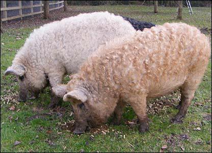 Фермер з Ужгородщини розводить унікальних свиней