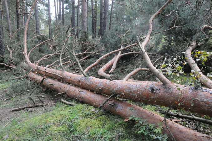 На Хустщині чоловіка насмерть задавило дерево
