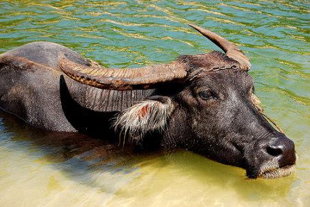 На прилавках України може з'явитись м'ясо буйволів