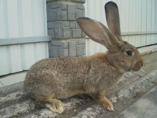Четверо мукачівців викрадали кролів-велетнів у жителів Мукачівщини