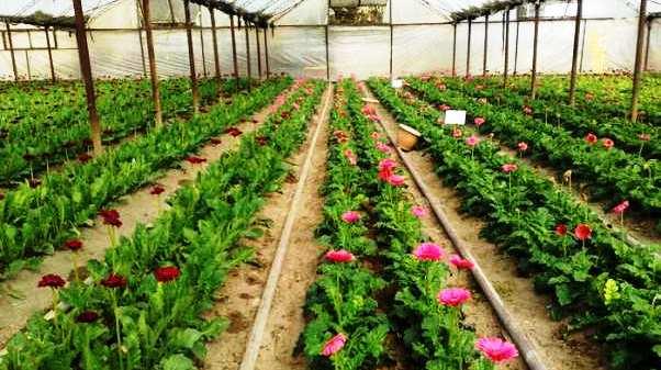 Як закарпатці в теплицях квіти вирощують (ВІДЕО)