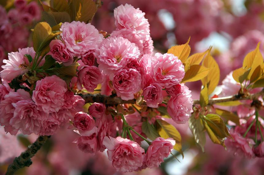 За цвітінням сакур Закарпаття можна буде спостерігати у Фейсбуці