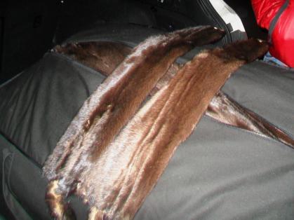 Закарпатське подружжя намагалося завезти до України 116кг хутрових шкурок норки (ФОТО)