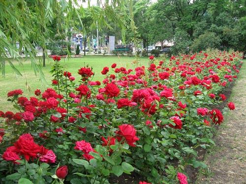 Ужгород планують озеленити трояндами, липами та катальпами (ВІДЕО)