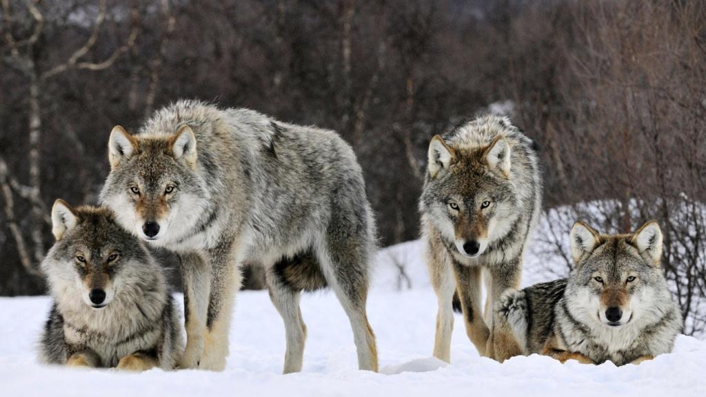 На Виноградівщині зграя вовків до смерті налякала ціле село