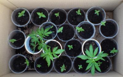 У Берегові міліція затримала наркомана, який вирощував марихуану на даху будівлі очисних споруд
