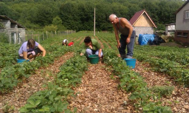 На Виноградівщині люди бідкаються: урожай полуниці цього року видався не надто вдалим