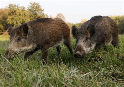 На Виноградівщині дикі свині знищують фермерські угіддя (ВІДЕО)