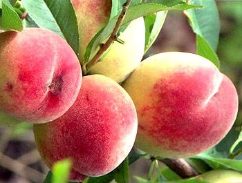 Закарпатець півстоліття займається вирощуванням екзотичних фруктів (ВІДЕО)