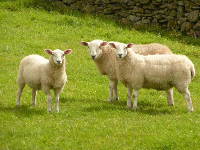 Невловима чупакабра висмоктала до останньої краплі крові із п'яти овець