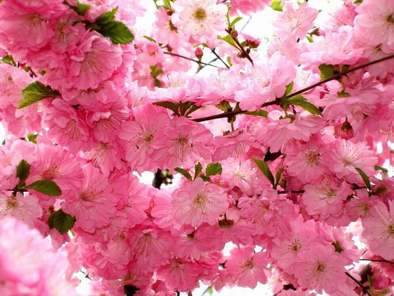 В Ужгороді завтра висадять новий вид сакури – пурпурнолисту