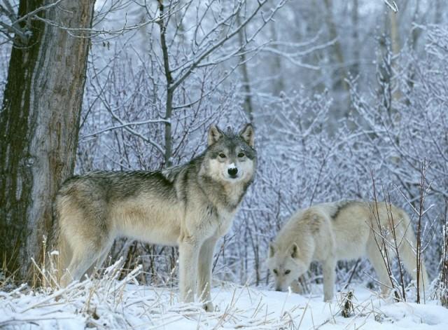 Як житель Мукачівщини заради коханої дівчини у новорічну ніч від вовків відбивався