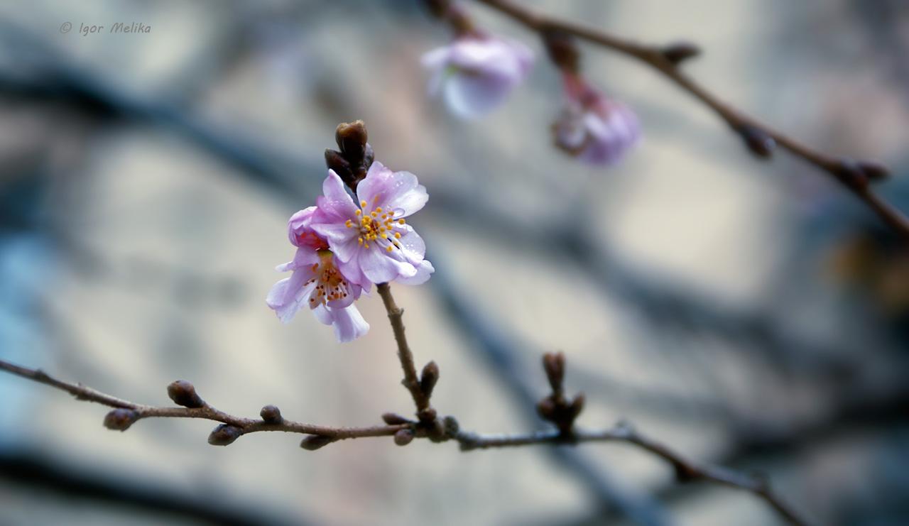 Через аномально теплу погоду у Мукачеві розцвіла сакура (ФОТОФАКТ)