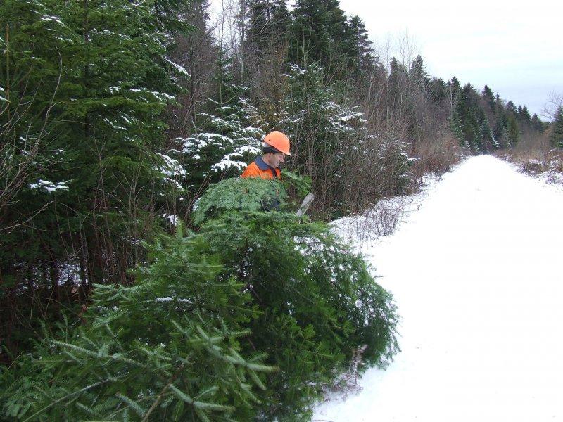 Одне з лісництв Закарпаття незаконно вирубало близько 100 ялинок до новорічних свят