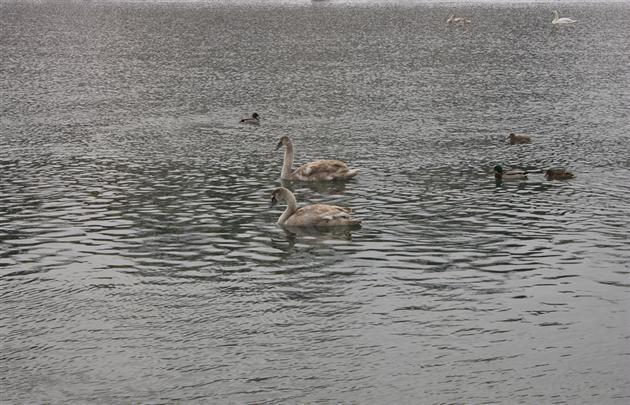 В Ужгород знову прилетіли лебеді
