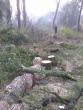 У Чопі комунальні вандали вирубують дерева (ФОТО)