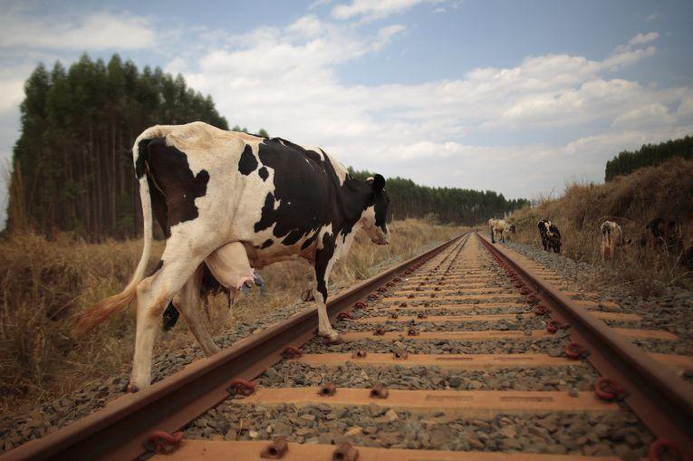 На Закарпатті залізничник врятував корову