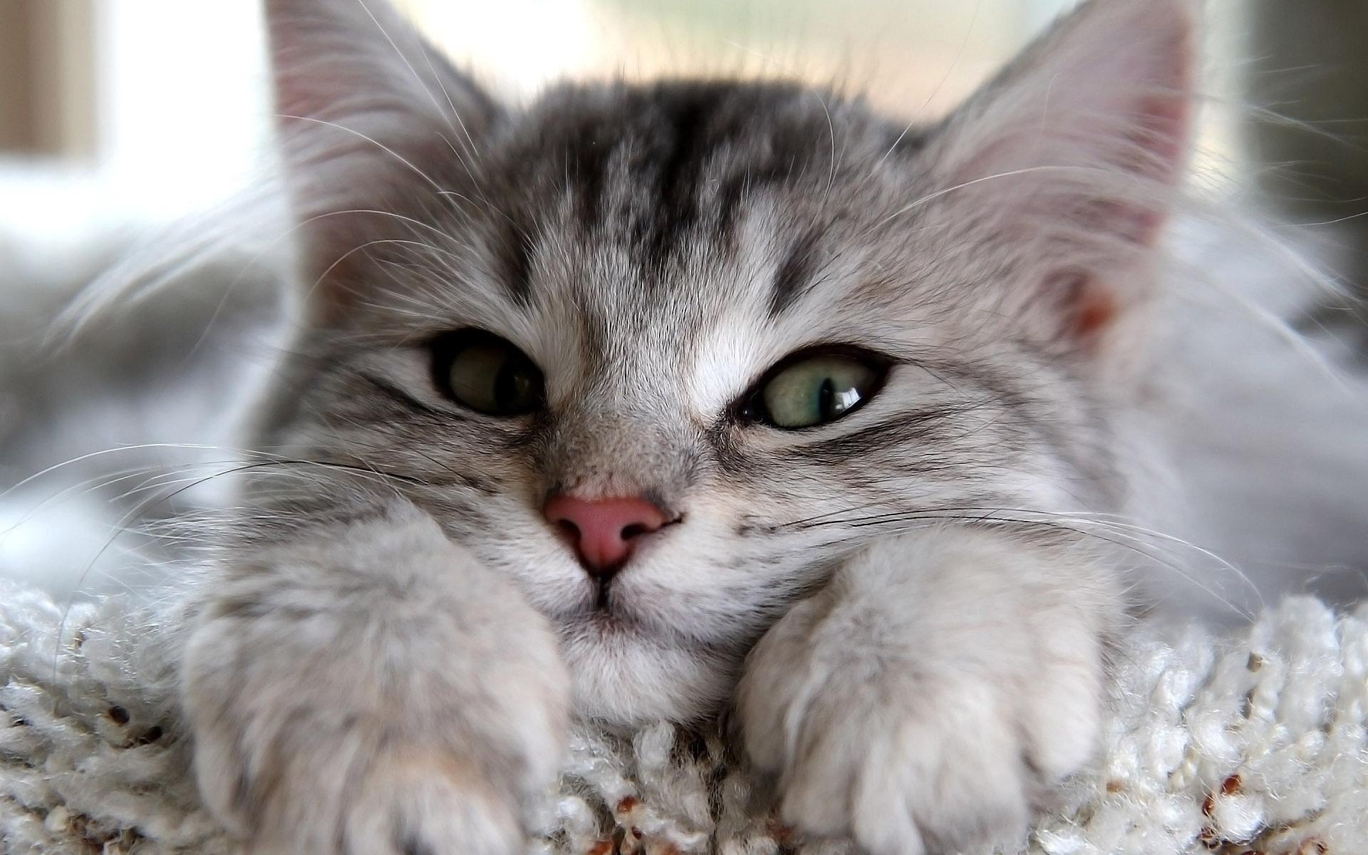 В Ужгороді обирали найкрасивішого кота Закарпаття