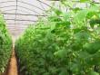 Якщо цього року будемо у збитках, наступного підемо на заробітки, – селяни, які вирощують ранню городину на Мукачівщині (ВІДЕО)