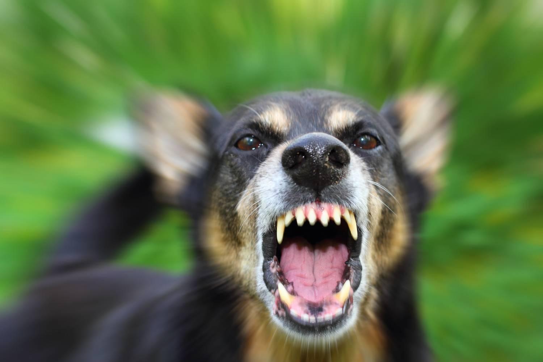 Безпритульні собаки в Ужгороді напали на молоду жінку