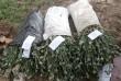 У мешканки Берегівщини правоохоронці виявили незаконний посів маку