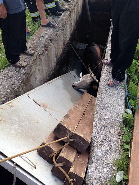 Закарпатські рятувальники витягали з пожежної водойми корову