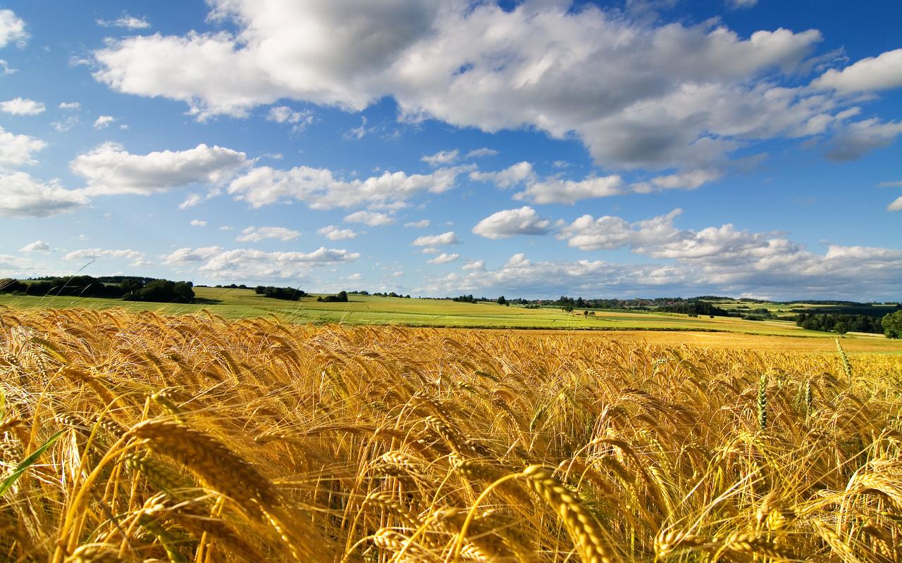 На Мукачівщині тривають жнива: озимий ячмінь та ріпак зібрали повністю, пшеницю – тільки 35%