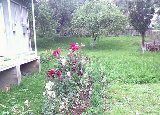 У 78-річного пенсіонера з Міжгірщини вилучили 178 рослин маку