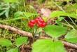 Мукачівка пішла по ягоди у гори і зникла