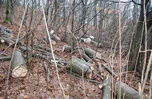 КП «Боздоський» відшкодує майже 74 тисяч гривень за незаконну вирубку дерев