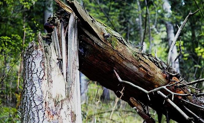 У Рахові на дорогу впало дерево