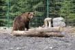 Центру реабілітації бурих ведмедів у Синевирі бракує грошей на харчування клишоногих