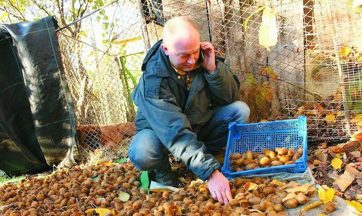 Ківі з вулиці Квітів: закарпатець вирощує перший український сорт екзотичного фрукту
