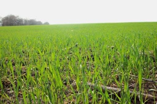В області сподіваються на цьогорічний добрий урожай зернових