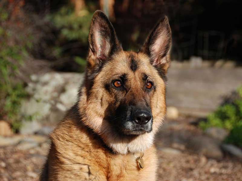 У Мукачеві відбудеться чемпіонат світу зі слідової роботи з собаками службових порід