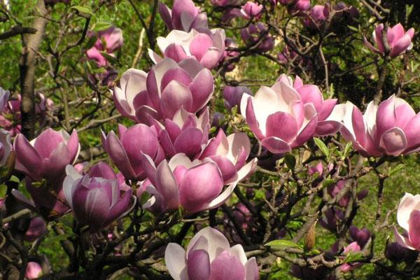 У ботанічному саді Ужгорода зацвіли магнолії