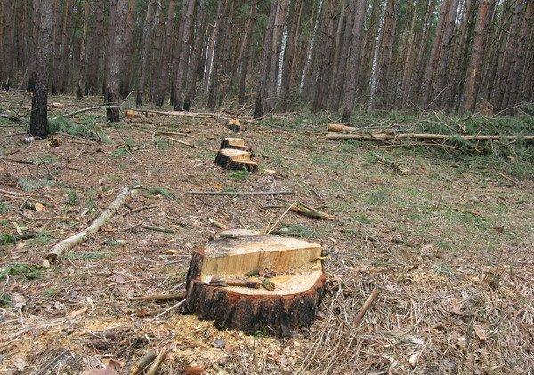 На Великоберезнянщині біля словацького кордону виявлено незаконну рубку лісу