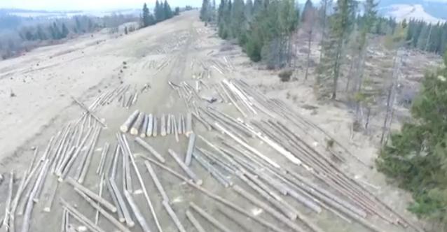 У підніжжя Говерли почали вирубувати ліс. Лісівники все заперечують