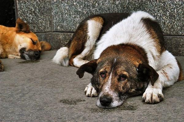 З понеділка в обласному центрі розпочнеться стерилізація собак
