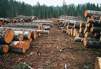 """Лісник та керівник одного з районних відділів поліції Закарпаття """"кришували"""" незаконну вирубку лісів"""