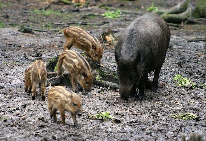 Закарпатські лісівники підрахували точну кількість дикої фауни, що мешкає у мисливських угіддях краю