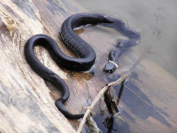 Тиса кишить зміями. Люди занепокоєні!