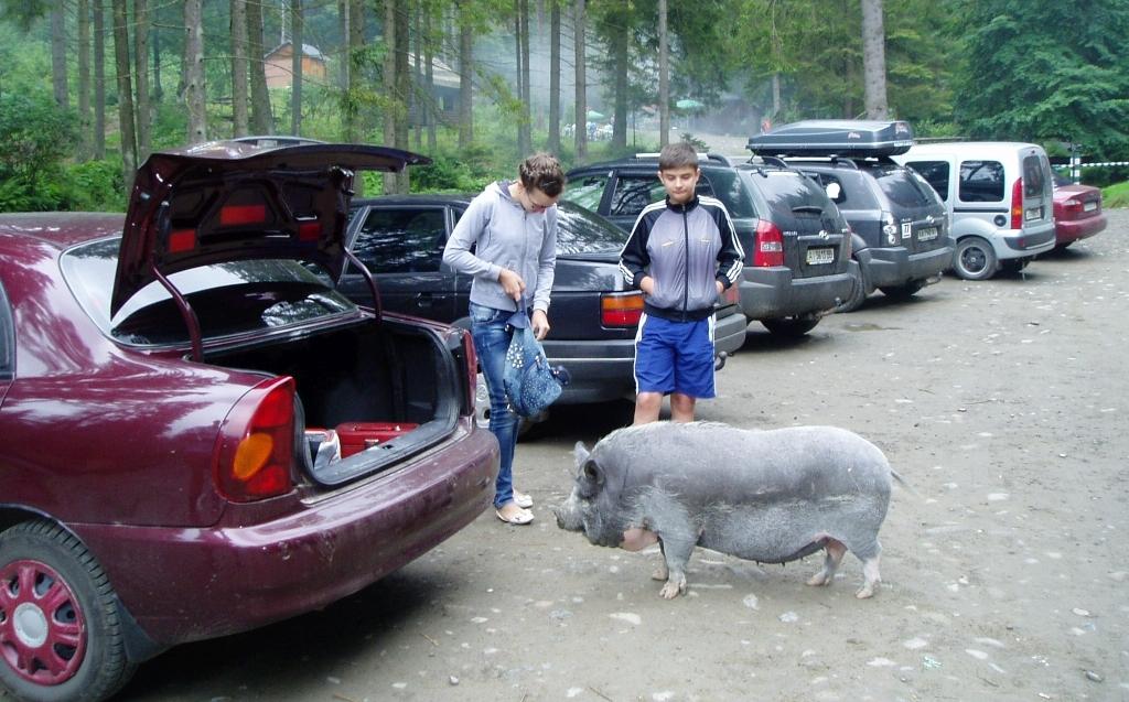 На Закарпатті біля водоспаду Шипіт незвичайна свиня розважає туристів