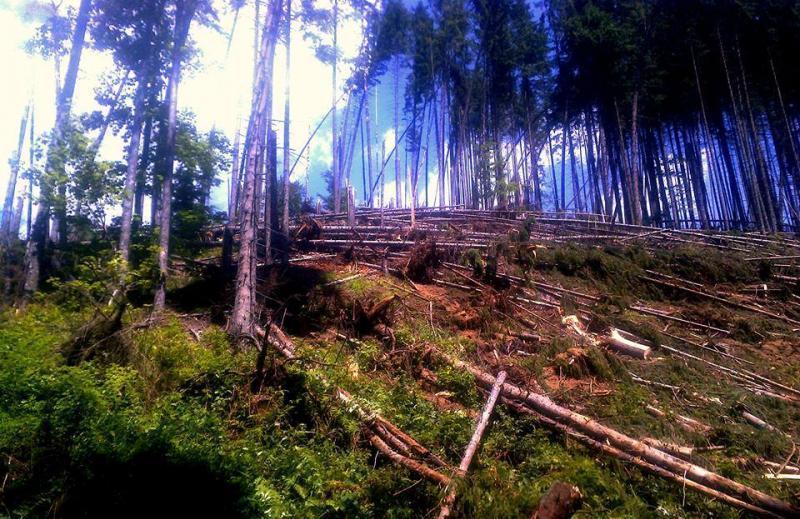 На Тячівщині буревій повалив понад 200 гектарів лісу